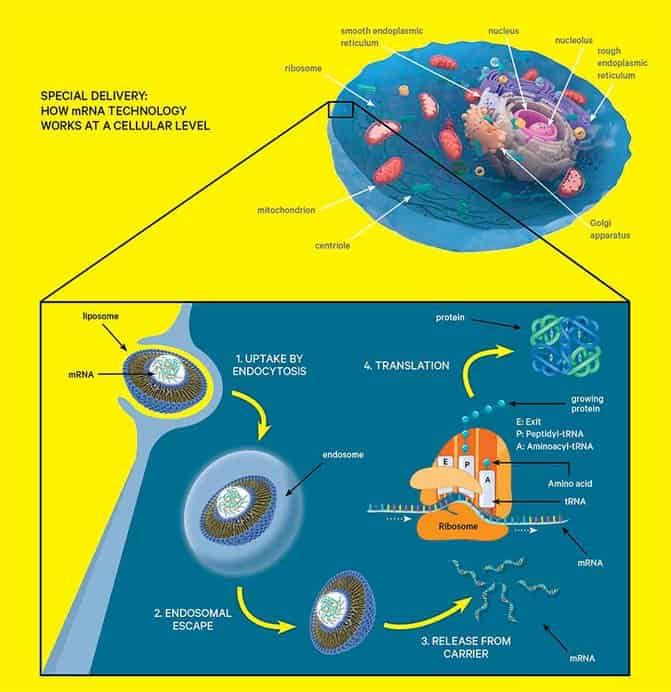 Diagram of mrna technology in cell
