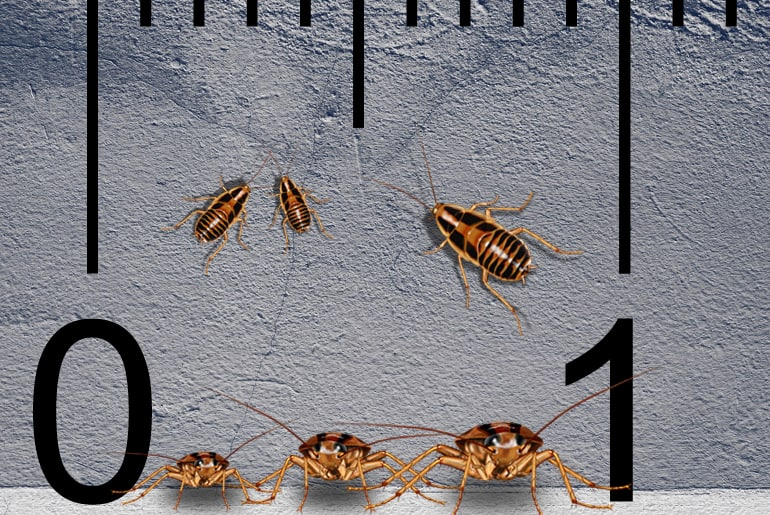 The Baby German Cockroach Is No Joke Get Rid Of It Fast Cockroach Facts