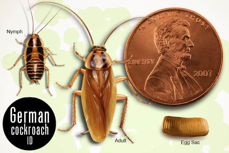 A Water Bug Identification Guide With Pictures Cockroach Facts