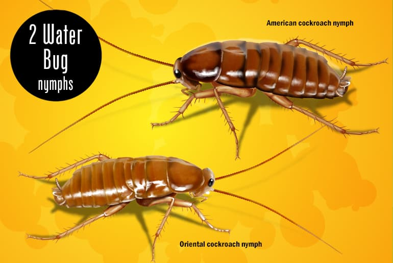 Water Bugs In Your House Here S What To Do Cockroach Facts