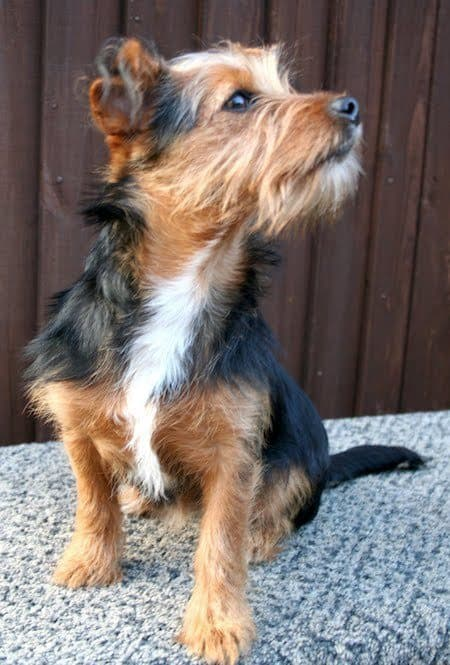 18 Jack Rus Terrier Mi Perfect