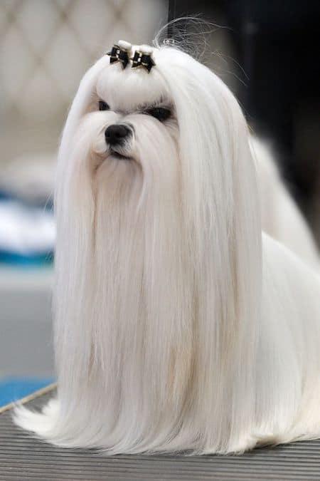 15 Maltese Haircuts Hairstyles White