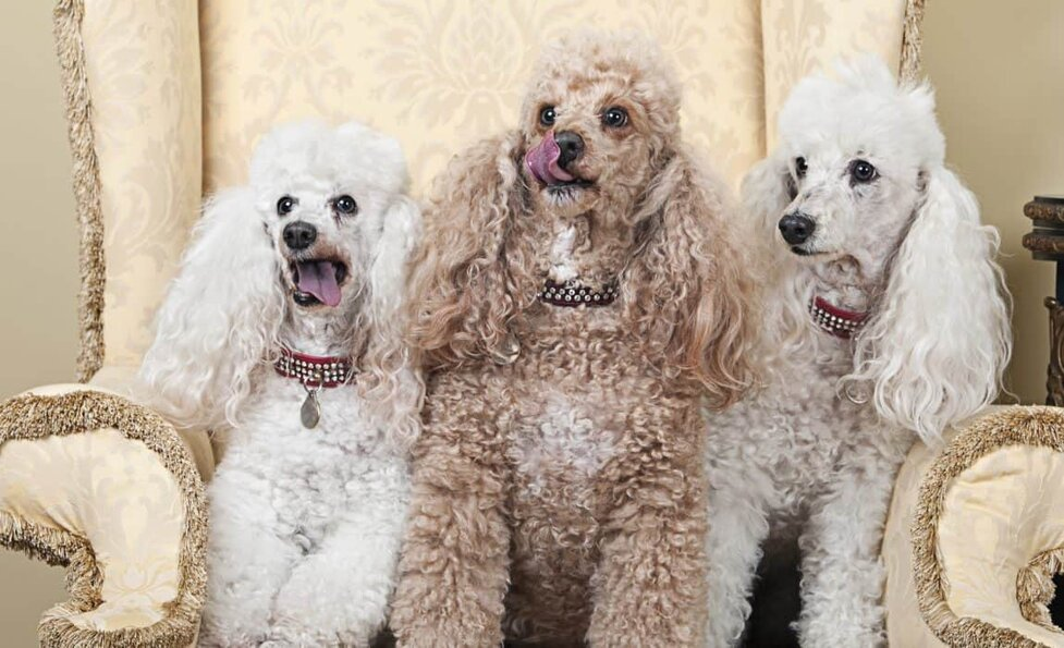 5 Types Of Poodles All Kinds Of Fluffy Sizes Shapes And