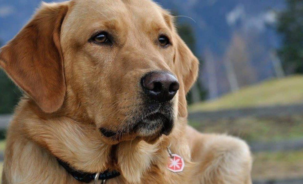 33 Labrador Mixed Breeds Lovable Lab