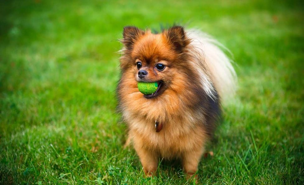 How Much Do Pomeranians Cost Factors