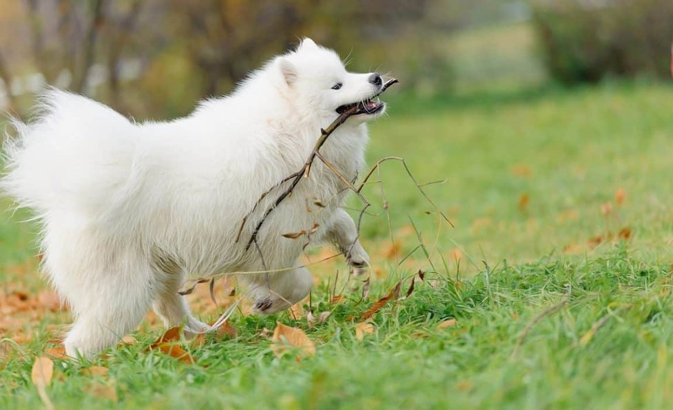 How Much So Samoyeds Cost Costs