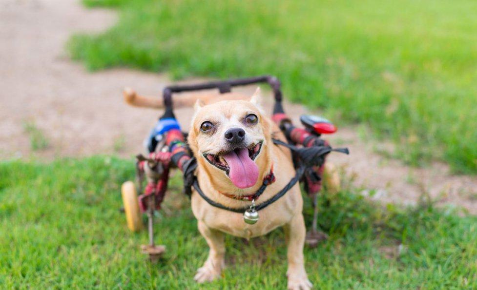 8 Dog Diy Wheelchair Plans Learn How To Build A Dog Wheelchair